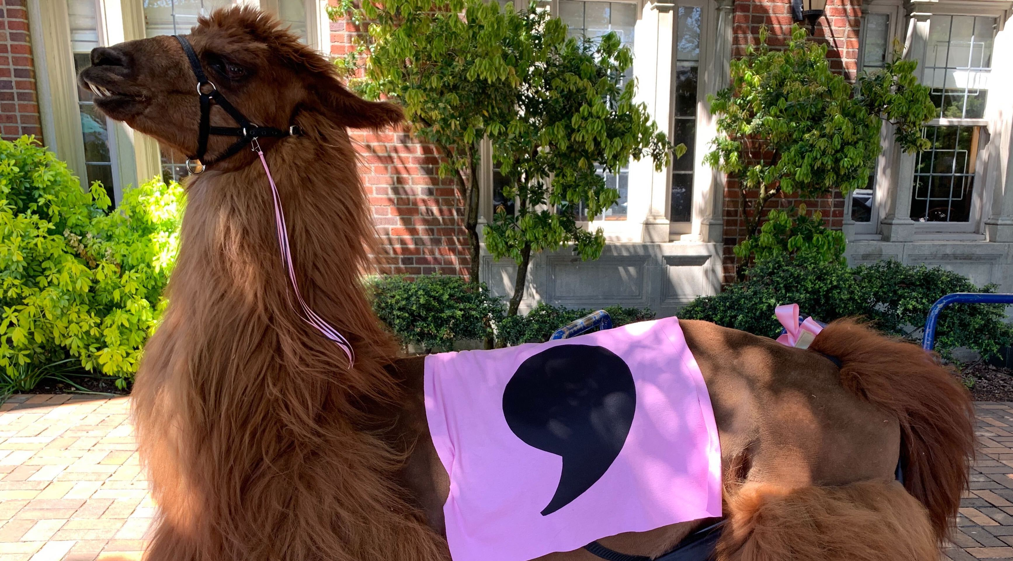 Llama posing with pink cape with comma icon